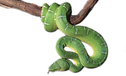 emeraldtreeboa